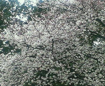 sakura_apr06.jpg